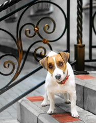 A sweet dog Jack Rassel Terrier standing on the steps of the house
