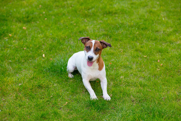 Young smooth-coated Jack Russell Terrier dog