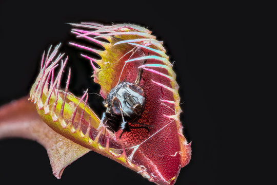 Venus fly trap (Dionaea muscipula) with captured digested fly