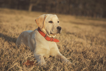 Labrador retriever with red collar laying on summer grass in park