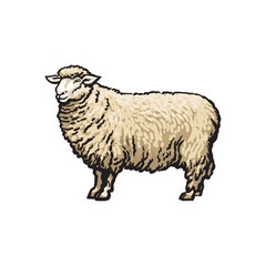 vector sketch cartoon style sheep. Isolated illustration on a white background. Hand drawn animal without horns. Cattle, farm cloven-hoofed livestock animal, wool, lamb products design object