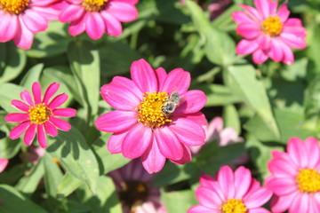 Pinke Sommerblume wird von Biene bestäubt