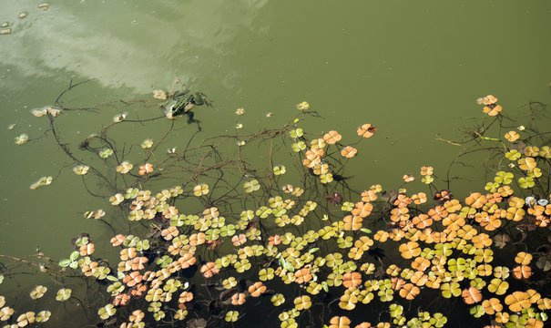 Frog and waterlily leaf in Danube Delta, Romania, in a summer day