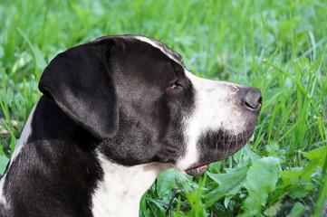 Bulldogge im Grünen