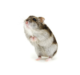 Dwarf hamster on white