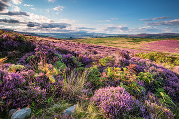 Tuinposter Heuvel Heather and Bracken on Simonside Hills, which are popular with walkers and hikers, they are covered with heather in summer and are part of Northumberland National Park ,overlooking the Cheviot Hills