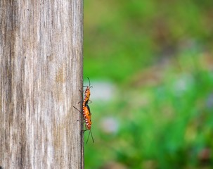 insect mating on a tree on wood with tree blurry bokeh background in nature.Using wallpaper for bug or fly image.This animal in garden and forest.This is a way of life in nature.