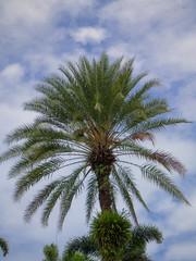 Green beautiful palm tree.