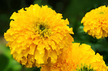 Yellow Marigold flower (Tagetes erecta, Mexican marigold, Aztec marigold, African marigold)