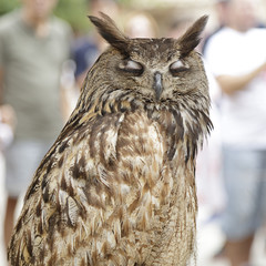 Upper body of an real owl (bubo bubo) with its eyes closed