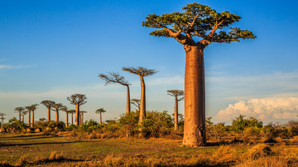 Foto op Aluminium Baobab Beautiful Baobab trees at sunset at the avenue of the baobabs in Madagascar