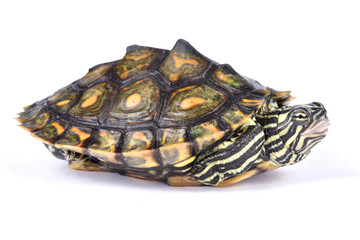 Ringed map turtle, Graptemys oculifera