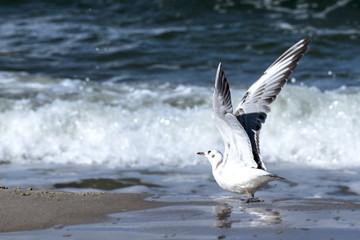 mewa morze plaża