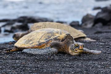 Green Turtles resting at a Beach with Black Sand, Big Island, Hawaii