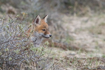 Fototapeta Fox cub