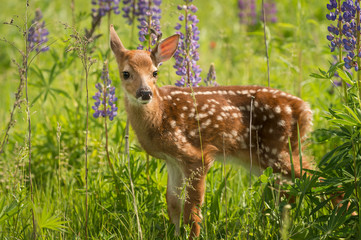 Fototapete - White-Tailed Deer Fawn (Odocoileus virginianus) Looks Out One Ear Back