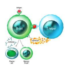 B-cell and T helper cells function.