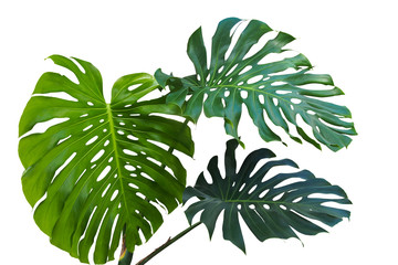 Large green leaves of monstera or split-leaf philodendron (Monstera deliciosa) the tropical foliage plant growing in wild isolated on white background, clipping path included.