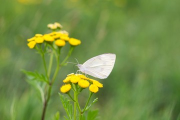White butterfly on yellow flower. Slovakia