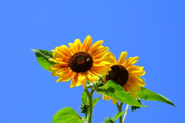 Sunflowers. Nice flower in the garden, in midsummer, in a sunny day.