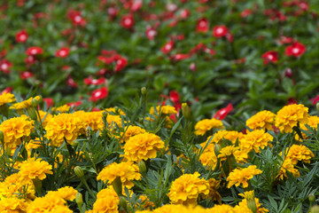 Bright yellow marigolds blooming in the flowerbed