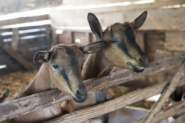 Two sweet brown goats in the old cote