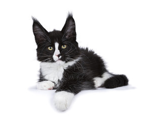 Black and white Maine Coon cat kitten lying isolated on white