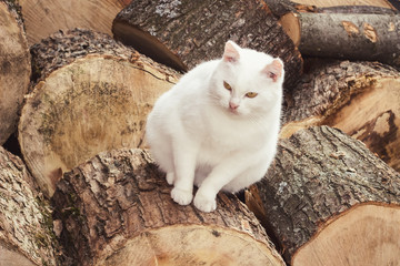 Fat white cat sitting on woods