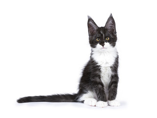 Black and white smoke Maine Coon cat kitten sitting isolated on white