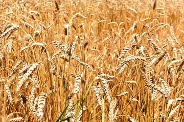 Grains field in a village in Transylvania. Typical rural landscape in the plains of Transylvania, Romania