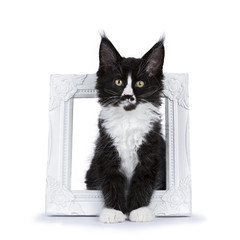 Black and white Maine Coon cat kitten with moustache sitting in picture photo frame isolated on white