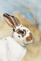 Big/adult bunny/rabbit/hare outdoors