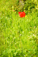 red tulip in meadow