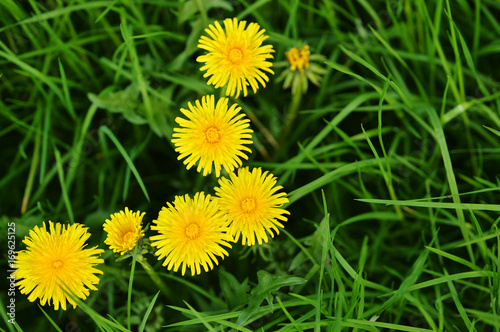 grass with dandelions
