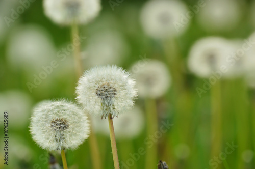 white Dandelions on a meadow, horizontal