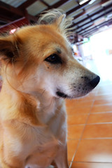 Cute Dog, Close Up Canine on Tile Floor of the House Background Great For Any Use.