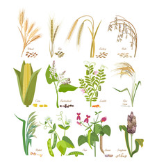 Set of cereals and legumes plants with leaves and flowers.