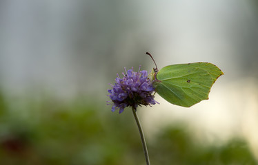 Common brimstone, Gonepteryx rhamni feeding on devil's-bit scabious, Succisa pratensis