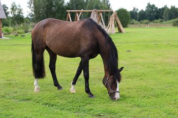 Horses grazing on pasture. Summer