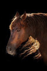 Red horse portrait with long mane in sunlight on black background