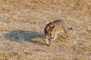 Gato de Bengala, Bengali, caminando sobre la hierba seca.