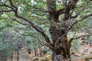 Roble melojo, Rebollo. Quercus pyrenaica. Parque Natural del Lago de Sanabria y alrededores.