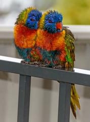 Rainbow Lorikeets seeking shelter from the rain
