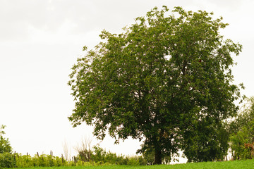 big walnut tree with green leaves and clear sky background