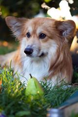 corgi fluffy portrait