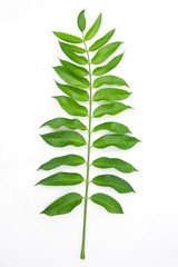 Leaves isolated on white background. Tropical plant green leaf spring time banner, environment concept. Close-up studio photography.