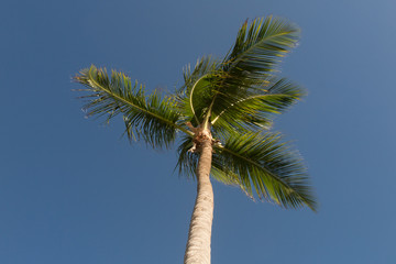 Coconut tree, looking up angle, against summer sky background