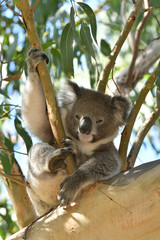 Koala relaxing in a gum tree