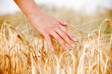 Image of human's hand with wheat spikes