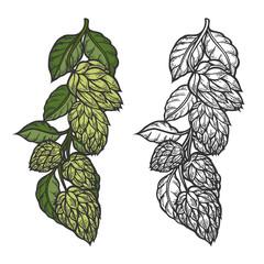 Beer hop illustration color and monochrome version on white background. Design element for logo, label, emblem, sign. Vector illustration